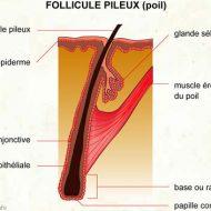 Muscle et poil