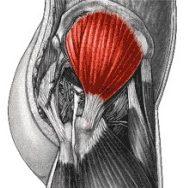 Muscle fessier anatomie