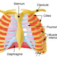 Muscle intercostaux