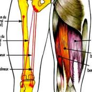 Muscle ischio jambier