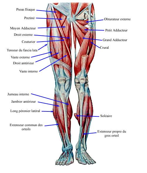 muscle jambe anatomie