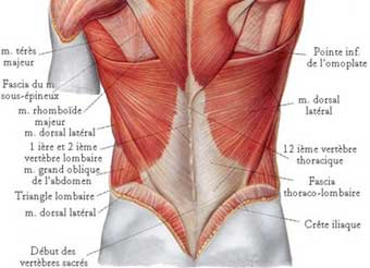 muscle lombaire anatomie