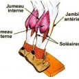 Muscle mollet anatomie