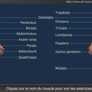 Muscle musculation