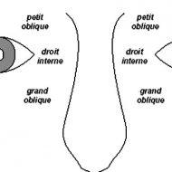 Muscle oculomoteur