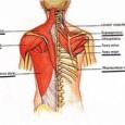 Muscle omoplate