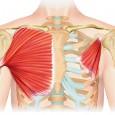 Muscle pectoraux