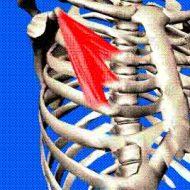 Muscle petit pectoral