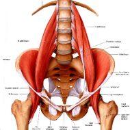 Muscle psoas iliaque