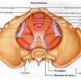 Muscle pubien