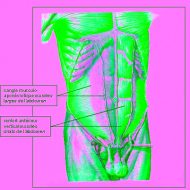 Muscle pyramidal