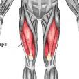 Muscle quadriceps