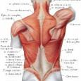 Muscle rhomboïde douleur