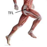 Muscle tfl