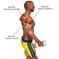 Muscler deltoide