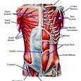 Muscler le buste