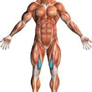 Muscler vaste interne