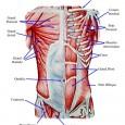 Muscles abdominaux anatomie