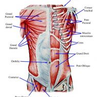 Muscles abdominaux anatomie