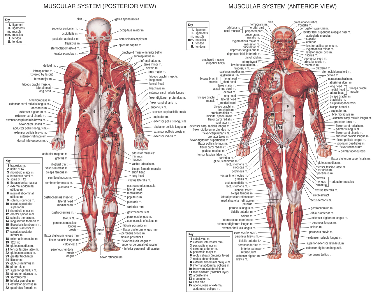 muscles anatomy