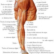 Muscles bras anatomie