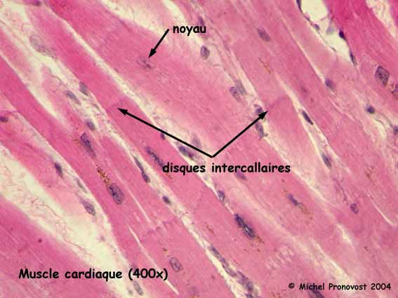 muscles cardiaques