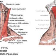 Muscles cervicaux