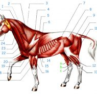 Muscles cheval