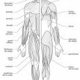 Muscles corps humain schéma
