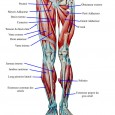 Muscles cuisse anatomie
