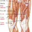 Muscles cuisses