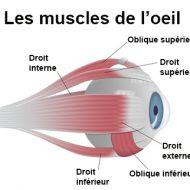 Muscles de l oeil