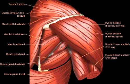 muscles des épaules