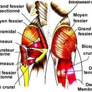 Muscles des fesses