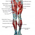 Muscles des jambes