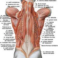 Muscles dorsaux anatomie