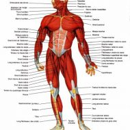 Muscles du corp humain
