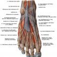 Muscles du pied