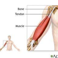 Muscles et tendons