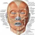 Muscles faciaux anatomie