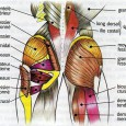 Muscles fessiers douleurs