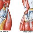 Muscles genou