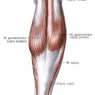 Muscles mollet