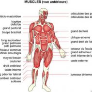 Muscles natation