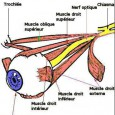 Muscles oculaires