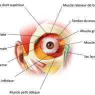 Muscles oeil