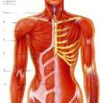 Muscles posturaux