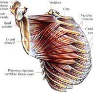 Musculation dentelé