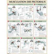 Musculation des pectoraux