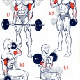 Musculation du biceps